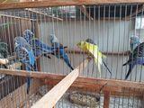 Молодые волнистые попугайчики
