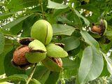 Продам ореховый сад. Уже в плодоношении.
