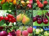 Prun, cais, cireş, vişin, măr- material săditor 2020-2021. Cadou - proiectarea plantațiilor pomicole