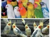 Попугаи волнистые, кореллы, какарики, амадины, неразлучники, канарейки, выставочные ЧЕХи
