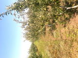livada mar prune