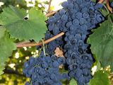 Продам виноград сорта Молдова по привлекательной цене. Vând struguri Moldova la un preț atractiv.