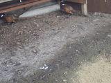 продам фазанов в наличии 2 самца