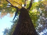 Nuc NEGRU American ( Juglans nigra )   Американский Черный орех (Juglans nigra ) выгодная инвестиция