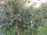 Livada tinara de prune