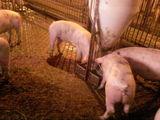 Vind sau schimb ferma de porci