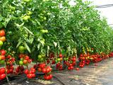 Seminte de legume ,cel mai bun pret garantat,pentru cei care le pasa de munca lor!Creditam.