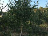 Arbori şi arbusti decorativi crescuti in Moldova.