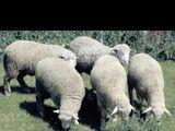 куплю овец и ягнят....