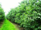 Продается сад черешни, 90 деревьев. Бельцы