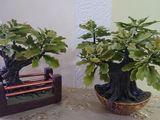 Bonsai copac de stejar. Cadou pt un barbat.
