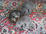 Шотландские котята ждут своих любящих хозяев.