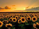 Cumpar floarea soarelui (rasarita)