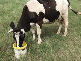 Vaca mulgatoare
