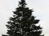 Продается елка высотой 12-14 метров
