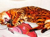 Люксовые бенгальские котята.  В них течет кровь азиатского леопарда.