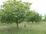 Продам ореховый сад или меняю