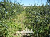 Lot de pămînt! r-ul Rezina, 68 h, pomi fructiferi! Ofertă Urgentă!