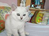 Серебристый британский котик от титулованных родителей.