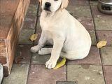 Labrador alb/negru