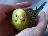 Молодые,волнистые попугайчики для обучению разговору!!!