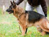 Дрессировка собак служебных пород