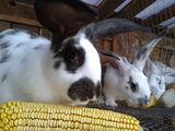 Iepuri de rasă la cel mai bun preţ. Кролики на разведение - лучшие породы в Молдове