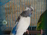 Vind papagal perus