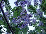 Seminte,rasada, puieti de Paulownia Tomentosa . Vindem puieti de Nuc negru American (Juglans nigra )