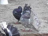 Vind porumbei