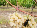 Виноград - яловень устойчивый , poama  - ialoveni(устойчивый)