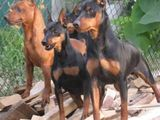 Карликовый доберман-щенки