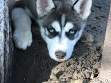 Продам щенка Хаски!!!