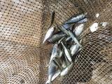 Продам малька (синявку,тюльку) для рыбалки.
