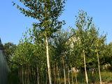Берёза,  mesteacăn, tei, (береза -  саженцы, (negociabil) , елки, brăduți (molid)