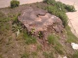 Defrisarea copacilor. Выкорчёвка пней, корень. Резка деревьев