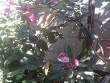 Олеандр цветущий 149 лей