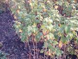 Se vinde Arbusti, Coacaza,Agris