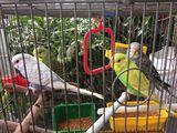 """Зоосалон """"Mister Dog"""" предлагает волнистых попугаев / vinde perusi 170 лей"""