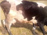 vind 6 vaci