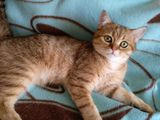 породистый котик, золотая британская шиншилла