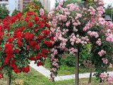 Arbuști,plante decorative și pomi fructiferi cu livrare gratuită!!!