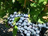 Виноград/Struguri/Table grapes