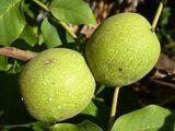 Ореховый сад - настоящая фабрика денег 12000evro