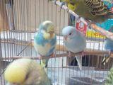 Волнистые попугайчики возраст 45 дн. для разговора самец 220 самка 130 качество гарантирую