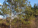 Teren 3 ha Hincesti (linga padure de pini, apa, energie electrica)