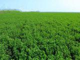 Se dau- 4 hectare semanate cu lucerna in arenda (orhei) 15 000 lei/arenda 1 an