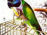 Продаётся красивая, чистоплотная, девочка!!!!Китайский попугай