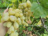 Продам дачный участок, шикарный виноградник