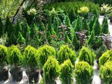 Plante decorative de gradina, pomi fructiferi, Декоративные растения